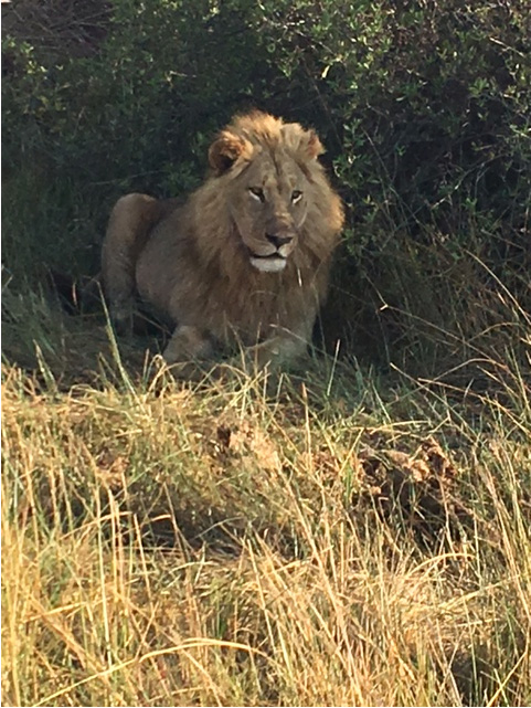 Patient spots lion while on African safari